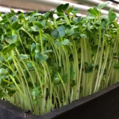 Radish Sprouts – Organic – Universal Living Sprouts*