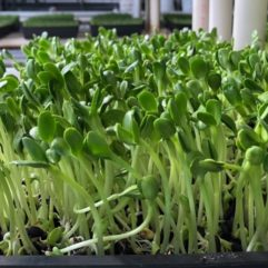 Sunflower Sprouts – Organic – Universal Living Sprouts*