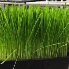 Wheatgrass – Organic – Universal Living Sprouts*
