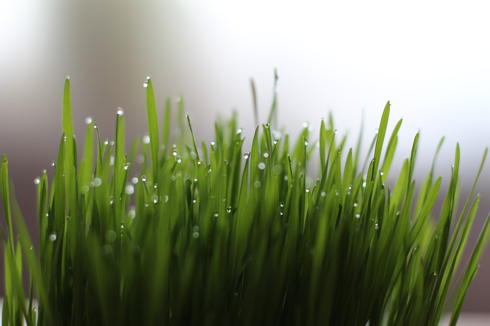 Organic Wheatgrass and Sprouts
